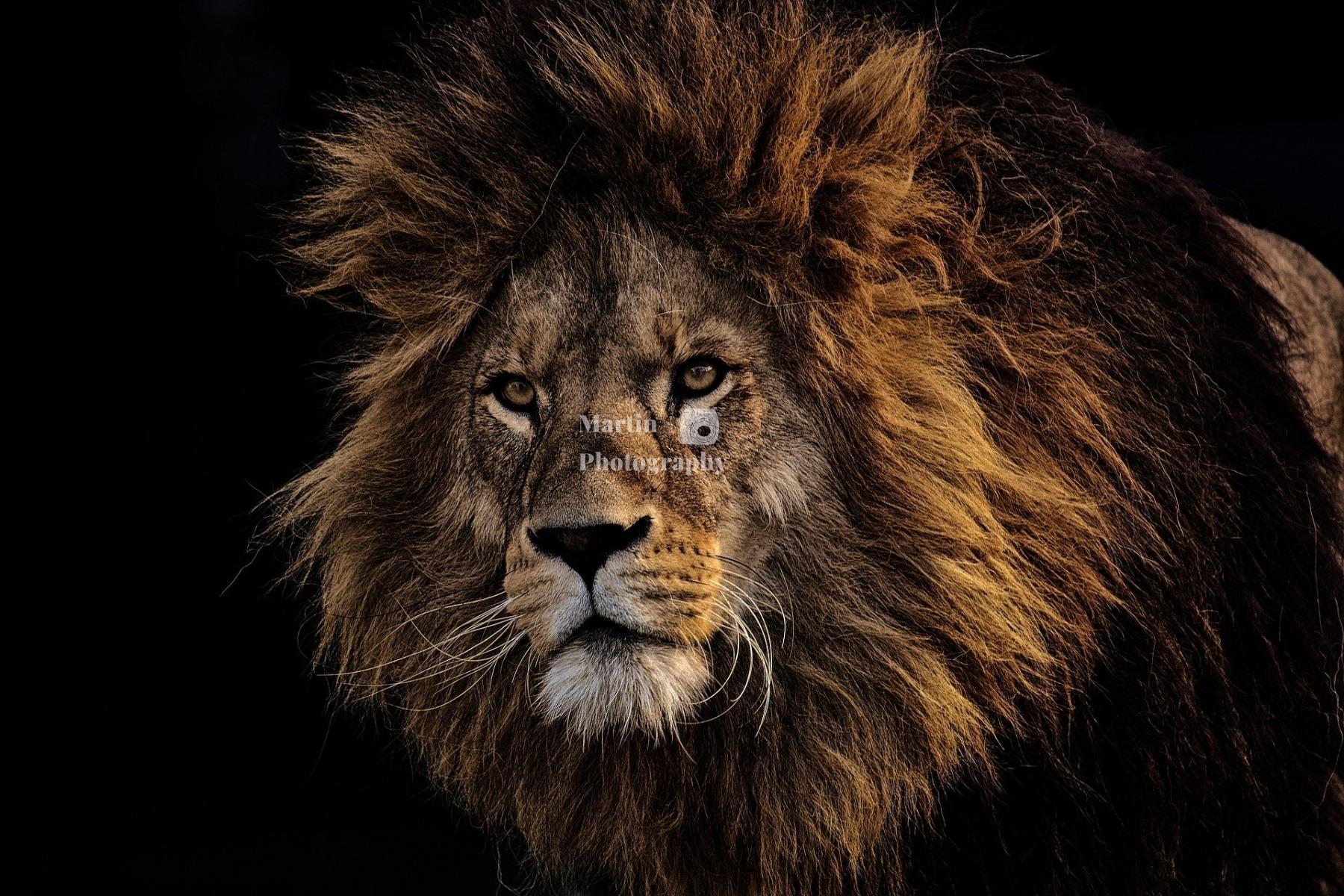 lion-3574819_1920