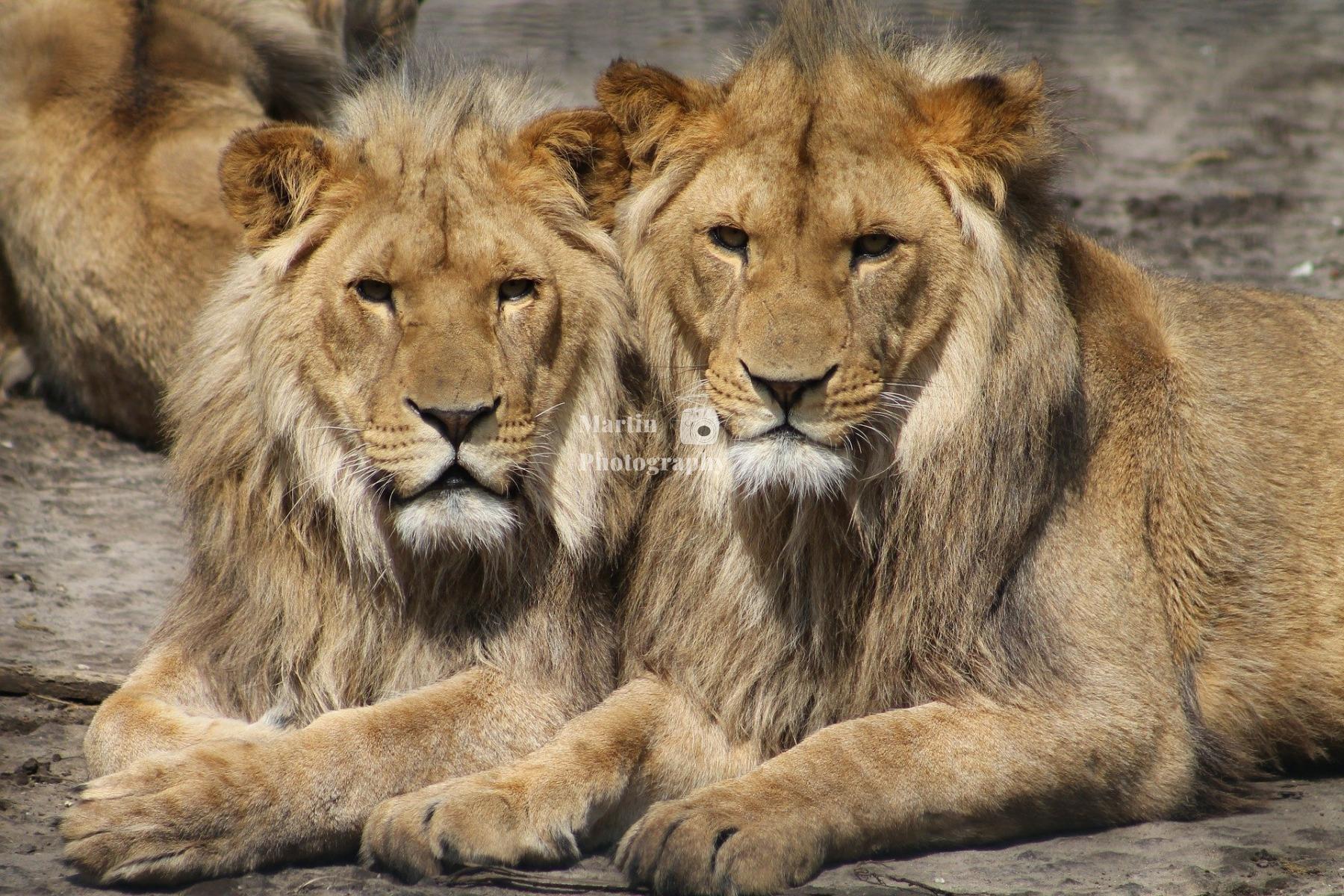 lions-1660044_1920